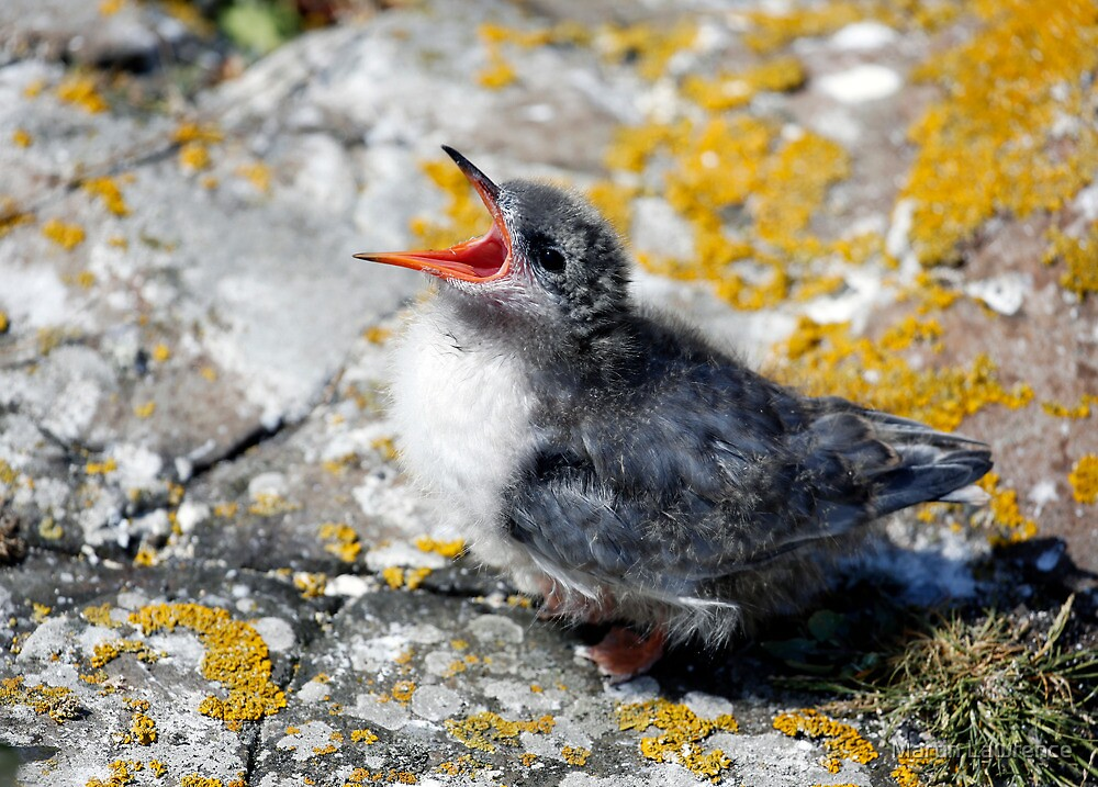 Arctic Tern chick waiting to be fed. by Martin Lawrence