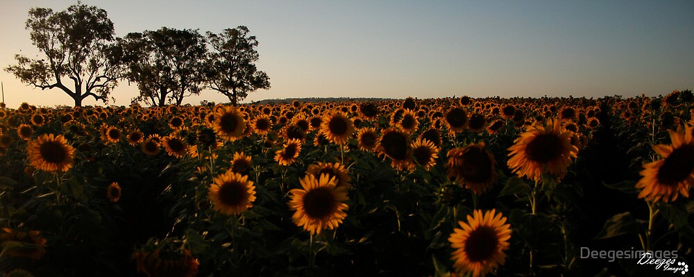 Sunflowers by Deegesimages