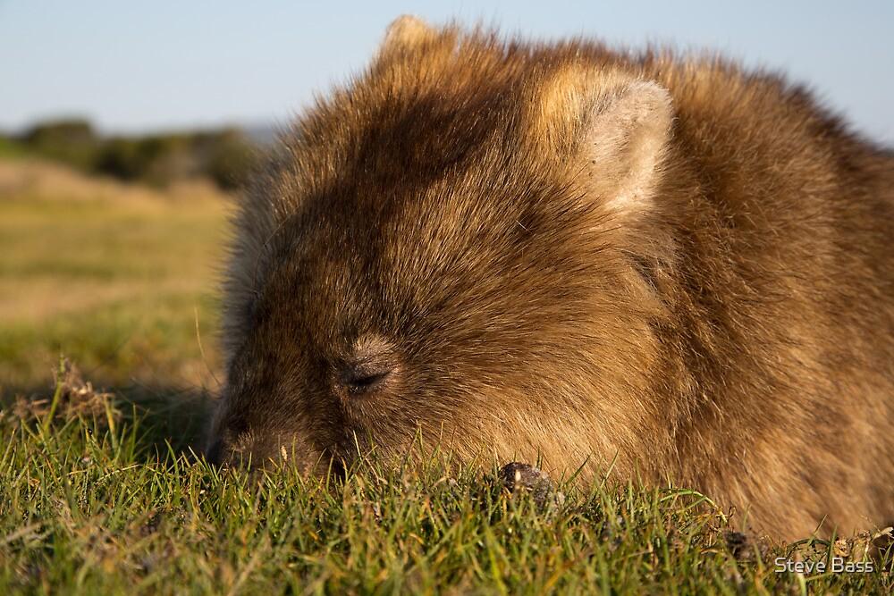 Wombat in Narawntapu by Steve Bass