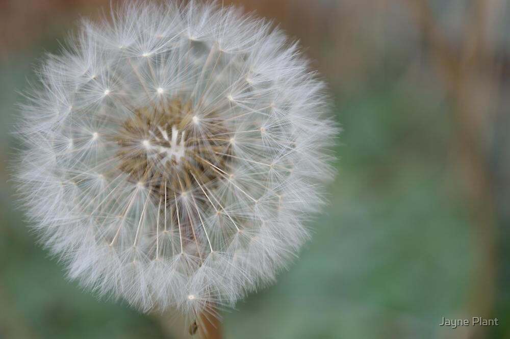 Dandelion by Jayne Plant