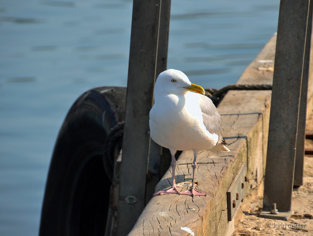 Gull At Lyme Harbour by lynn carter
