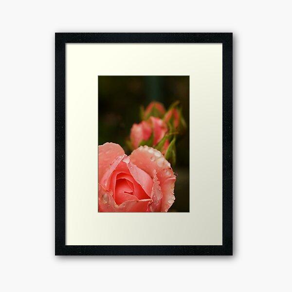 Pink roses in the rain Framed Art Print