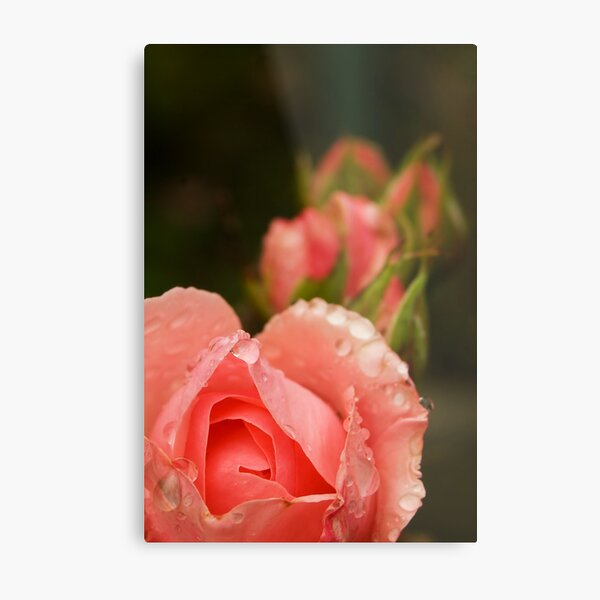 Pink roses in the rain Metal Print