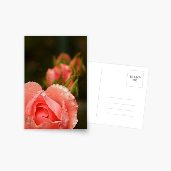 Pink roses in the rain Postcard