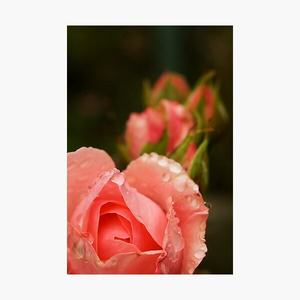 Pink roses in the rain Photographic Print