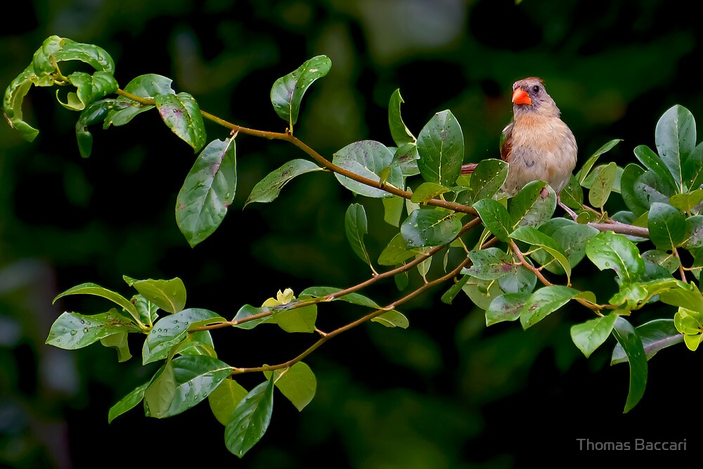 Cardinal After The Rain Storm by TJ Baccari Photography