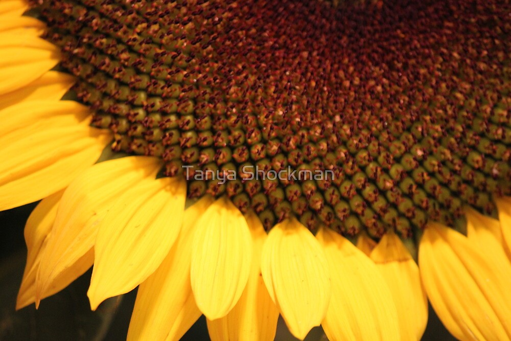 Colors of the Sunflower by Tanya Shockman