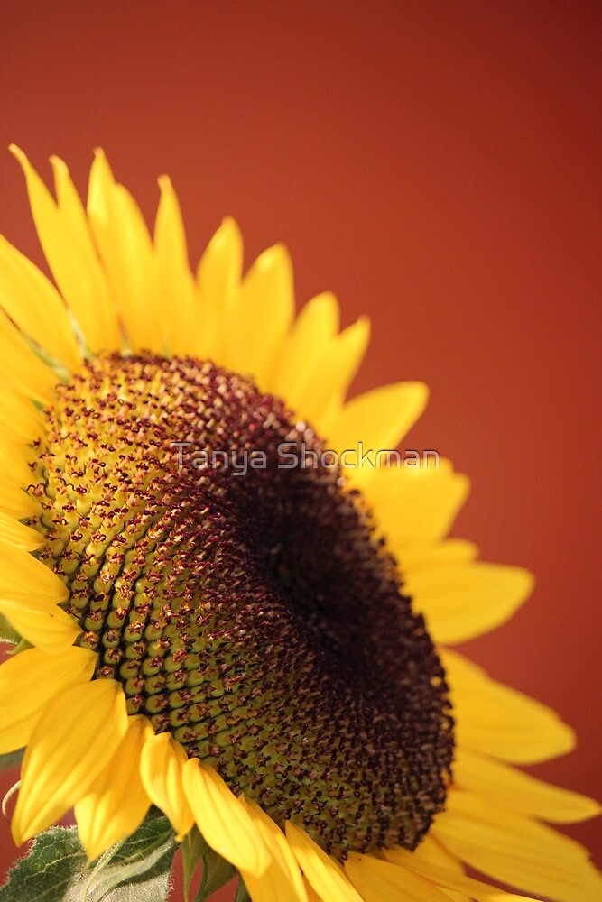 Sunflower by Tanya Shockman