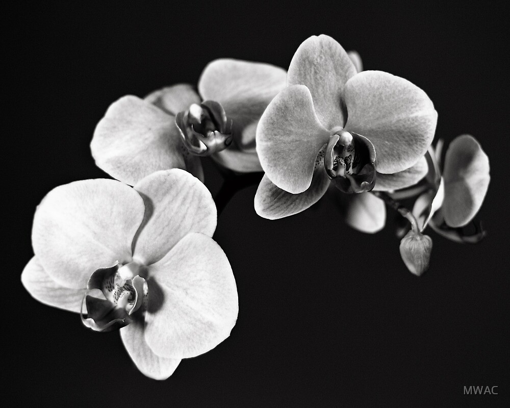 White Orchid Flowers by MWAC