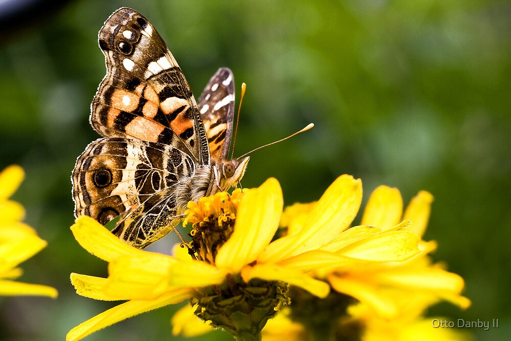 Painted Lady on a Zinnia by Otto Danby II