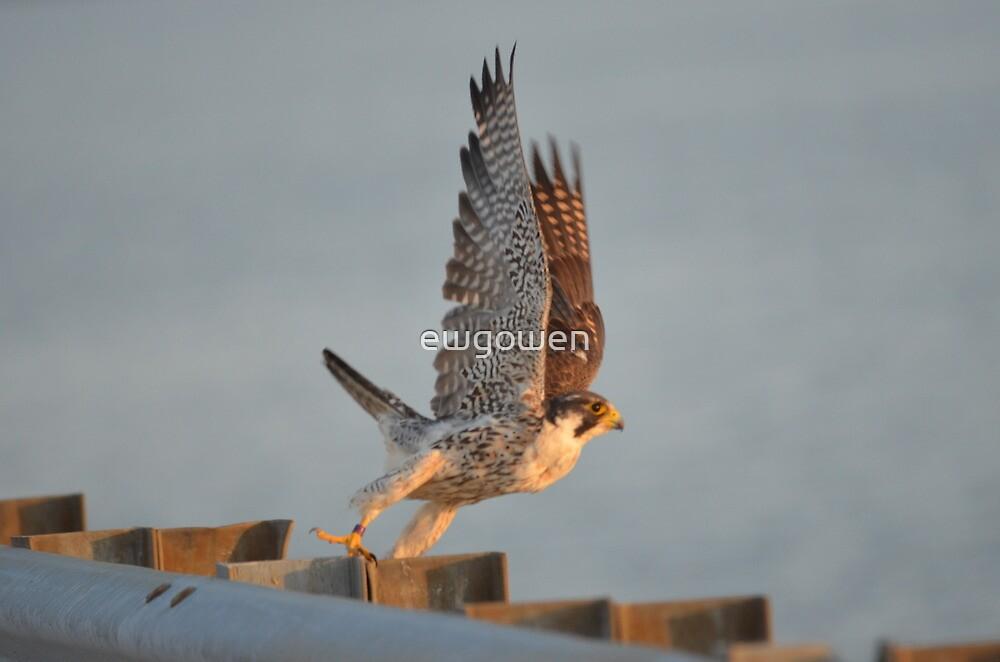 peregrine falcon  by ewgowen