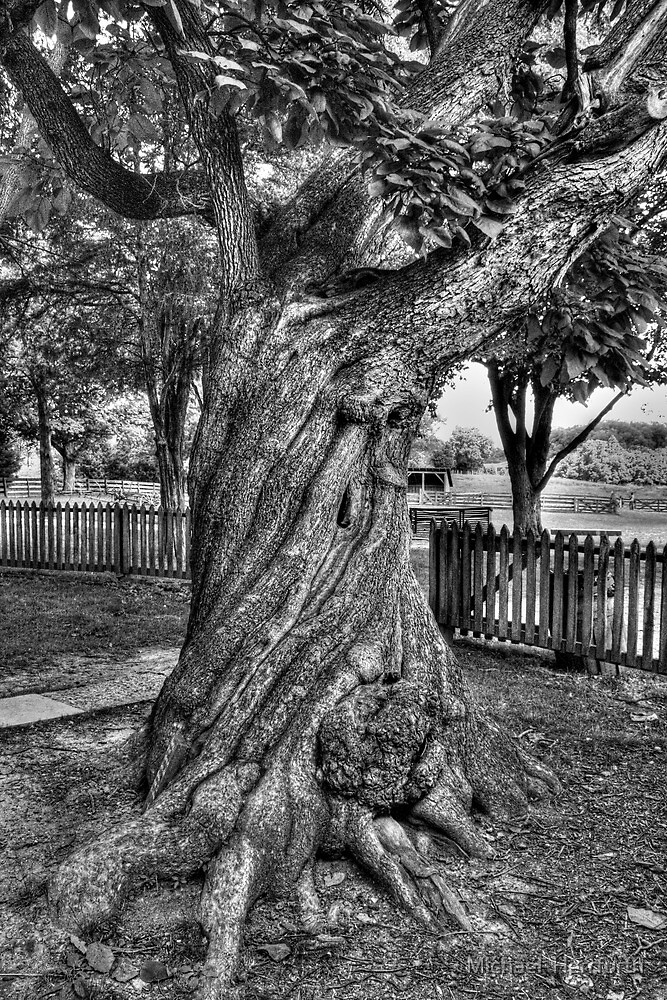 Old Twisted Tree by Michael  Herrfurth