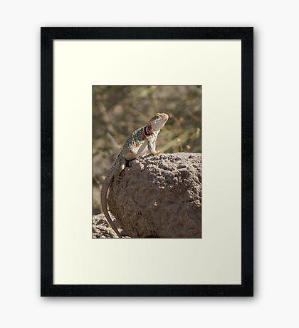 Eastern Collard Lizard (Gravid Female) Framed Print