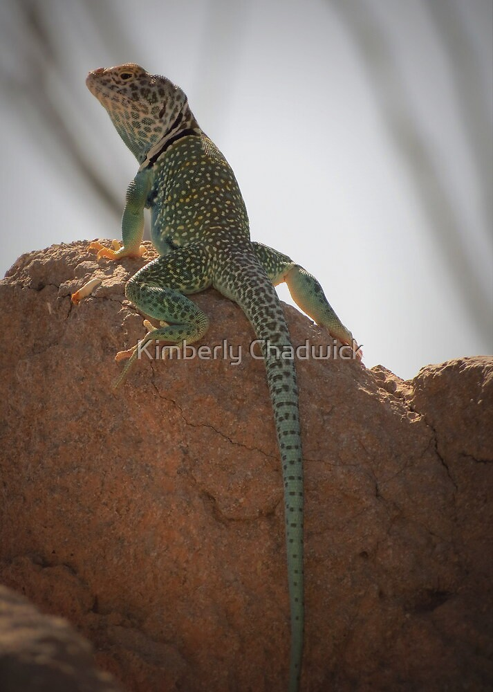 Eastern Collared Lizard (Male) by Kimberly Chadwick