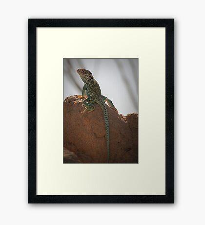 Eastern Collared Lizard (Male) Framed Print
