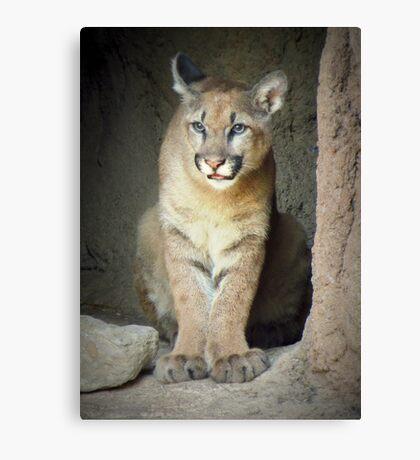 Mountain Lion Cub (Cruz) Canvas Print