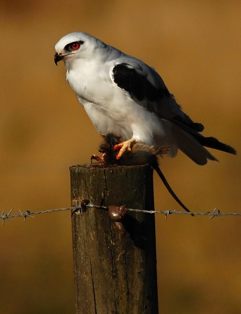 Black shouldered kite with lunch by drdaf