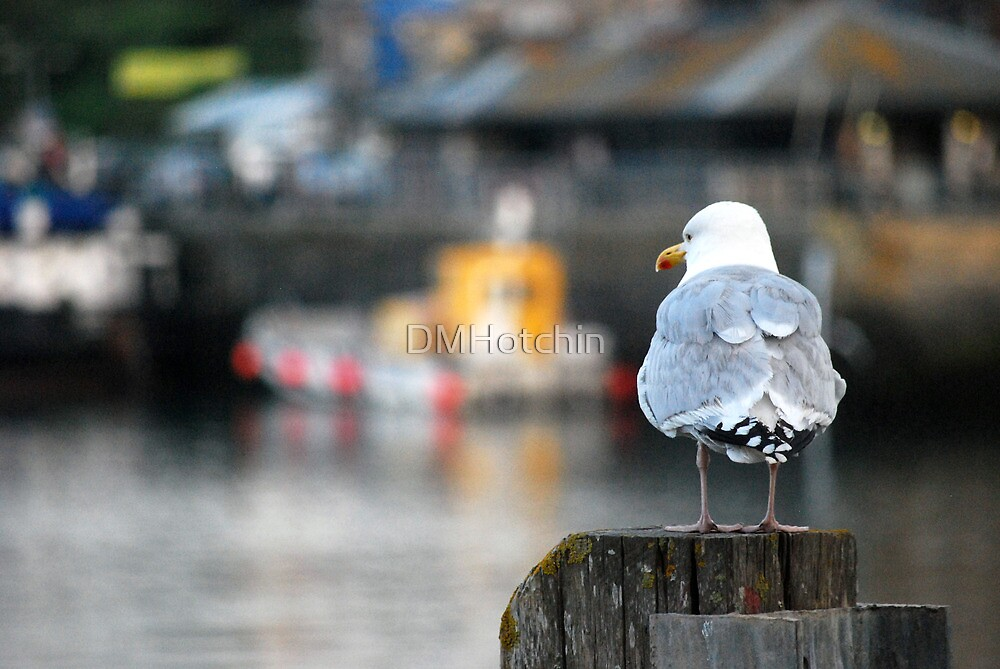 Gull at Padstow by DMHotchin