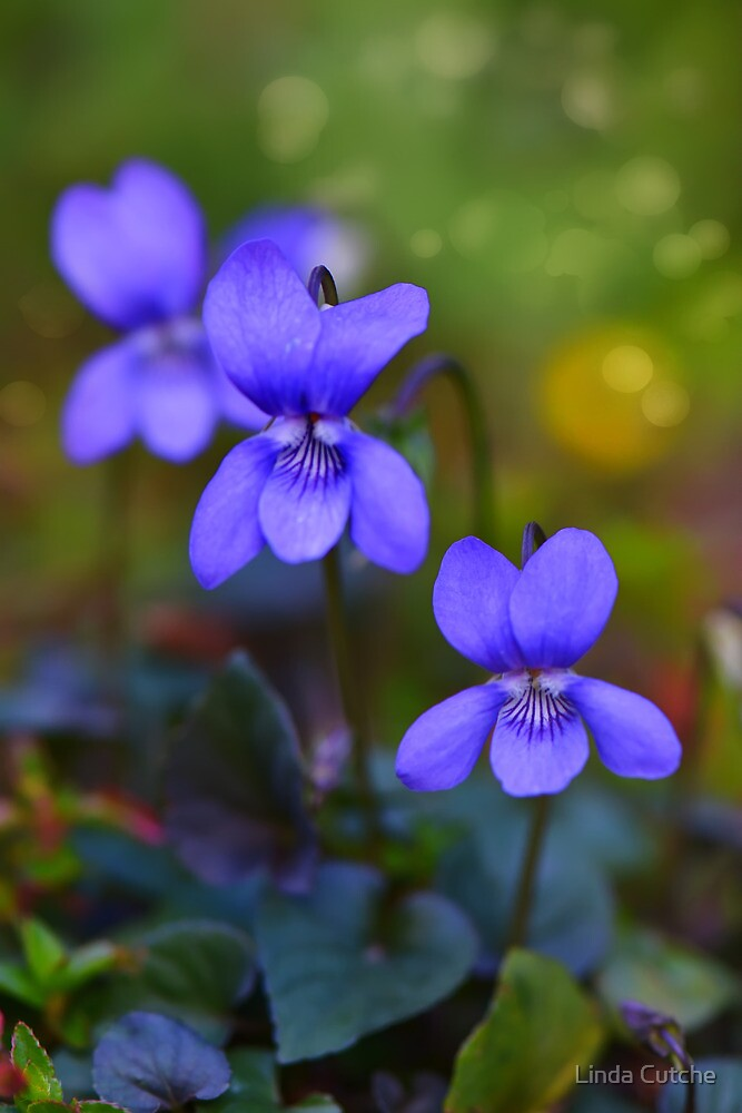 Violets by Linda Cutche