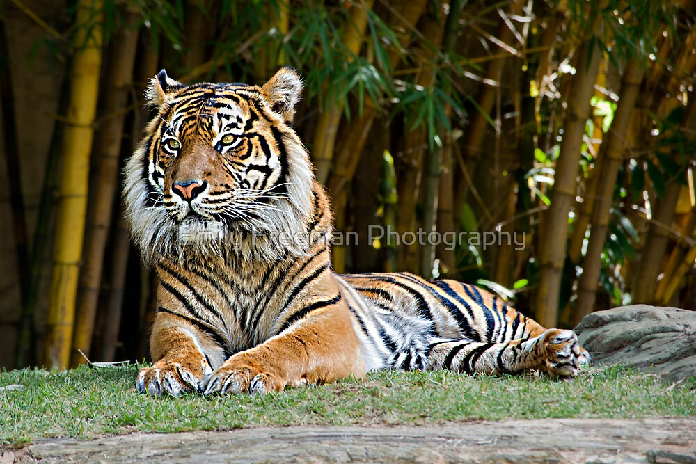 Tiger by Emily Freeman Photography