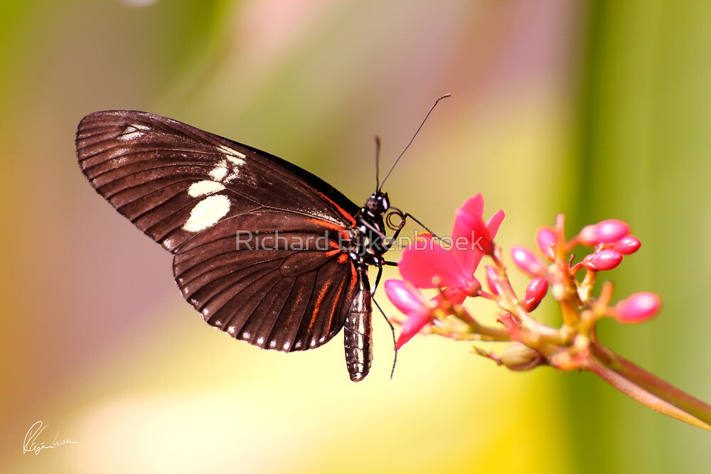 Rainbow Butterfly by Richard Eijkenbroek
