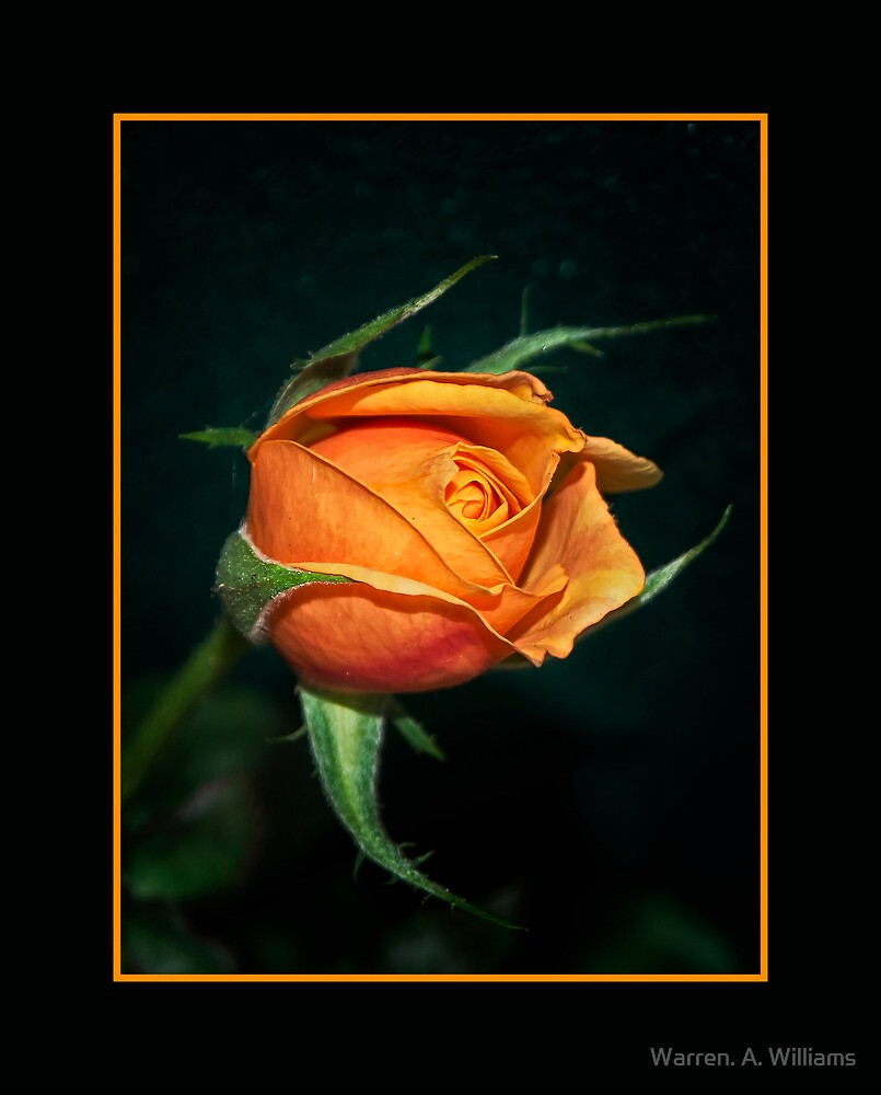 Rose  by Warren. A. Williams