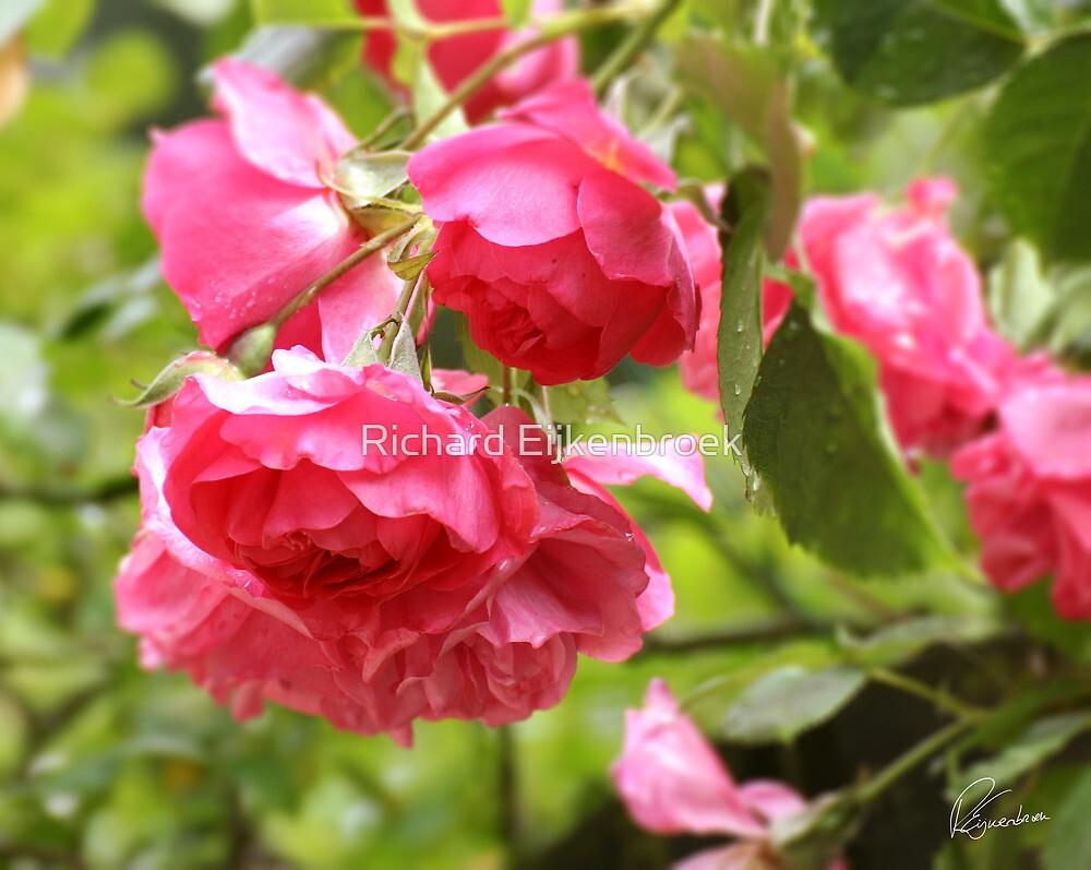 Rose pink by Richard Eijkenbroek