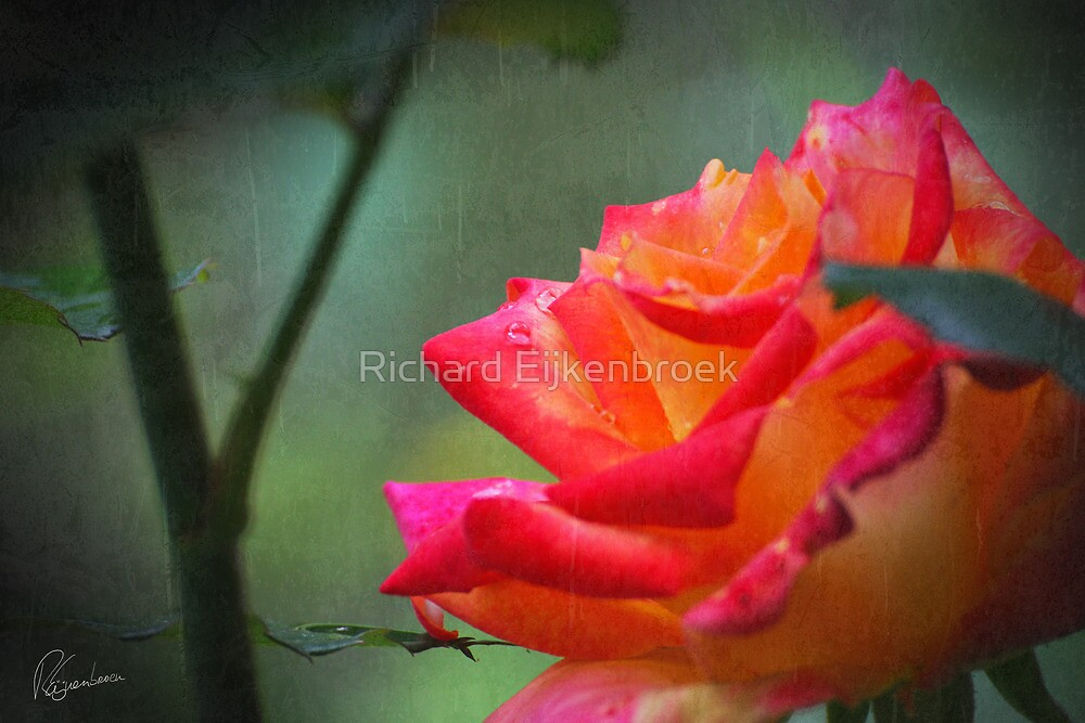 Rose vintage by Richard Eijkenbroek
