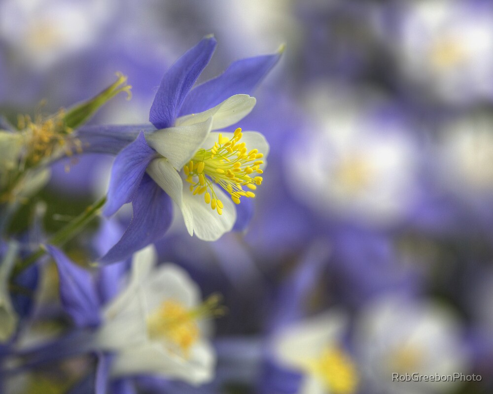 Colorado Wildflower Images - Colorado Columbine portrait by RobGreebonPhoto