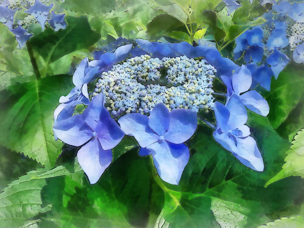 Blue Lace Cap Hydrangea Let's Dance Starlight by Susan Savad