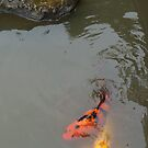Koi and a Rock by David Davies