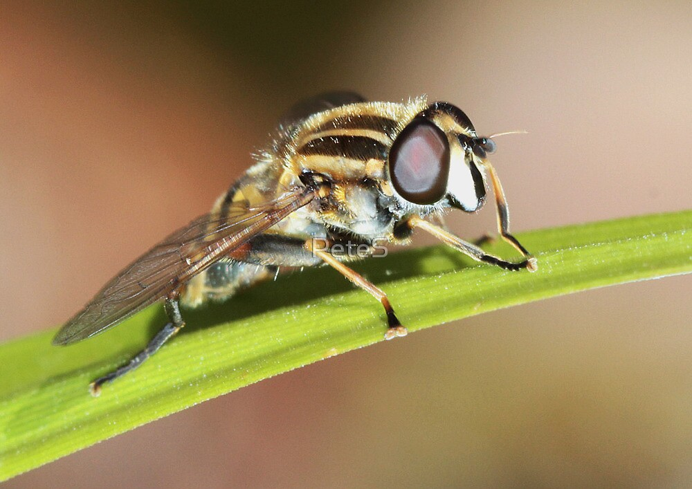 Hoverfly by PeteS