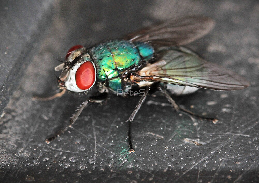 Greenbottle Fly by PeteS