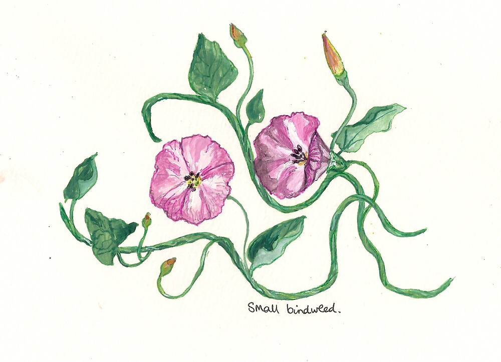 Small Bindweed by Sam Burchell