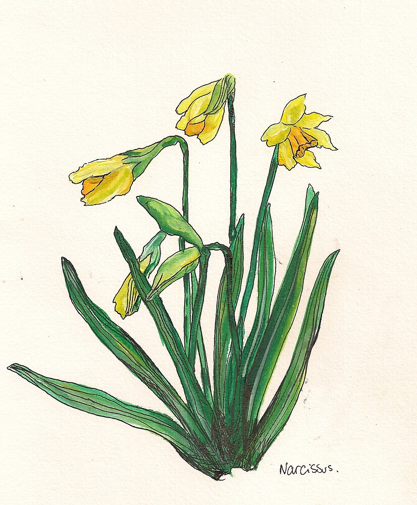 Narcissus by Sam Burchell