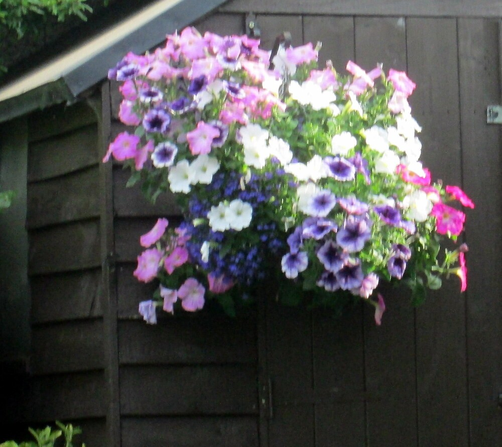 a lovely baskets of petunias by margaret hanks