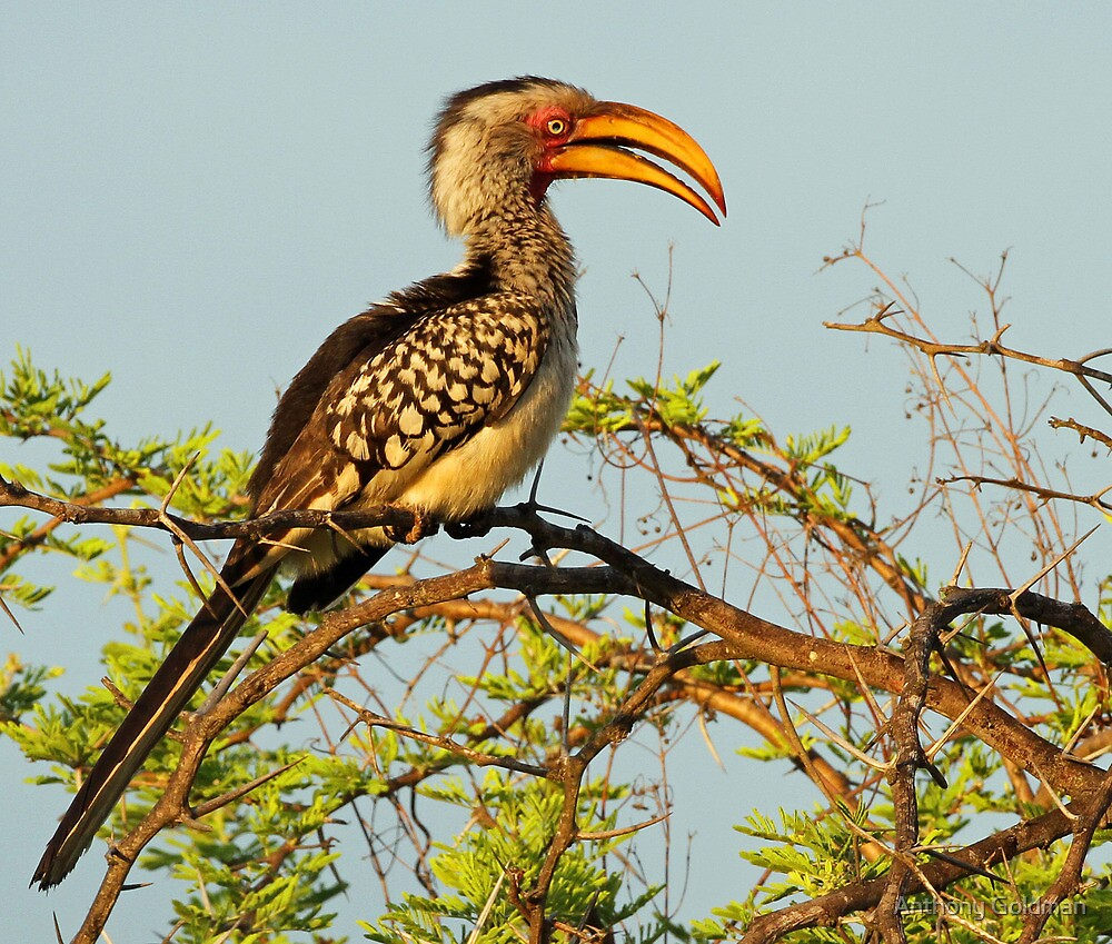 A Common Yellow Hornbill  by Anthony Goldman