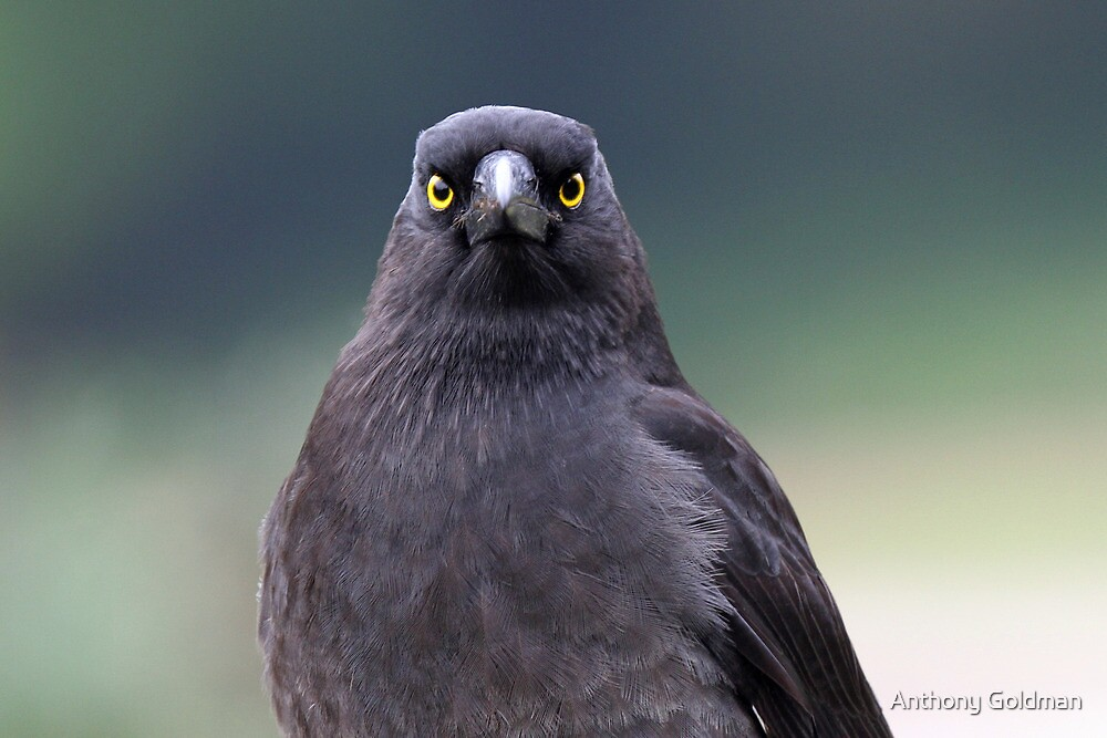 A Pied Currawong staredown ! by jozi1