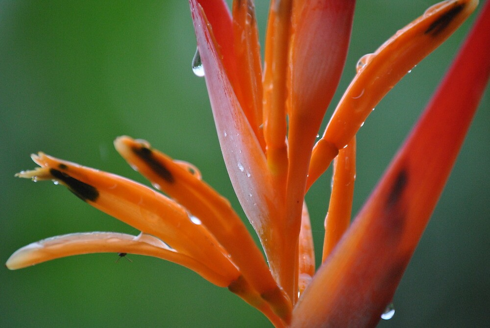 Orange Heliconia by Amy Hardesty