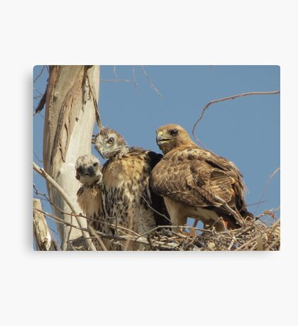 Red-tailed Hawks ~ Morning Teachings Canvas Print