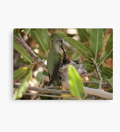 Anna's Hummingbird~ Mothers Touch Canvas Print