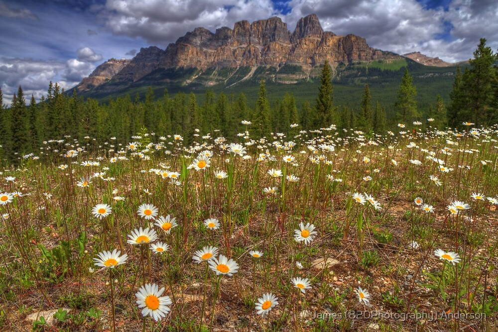 Daisy Castle by James Anderson