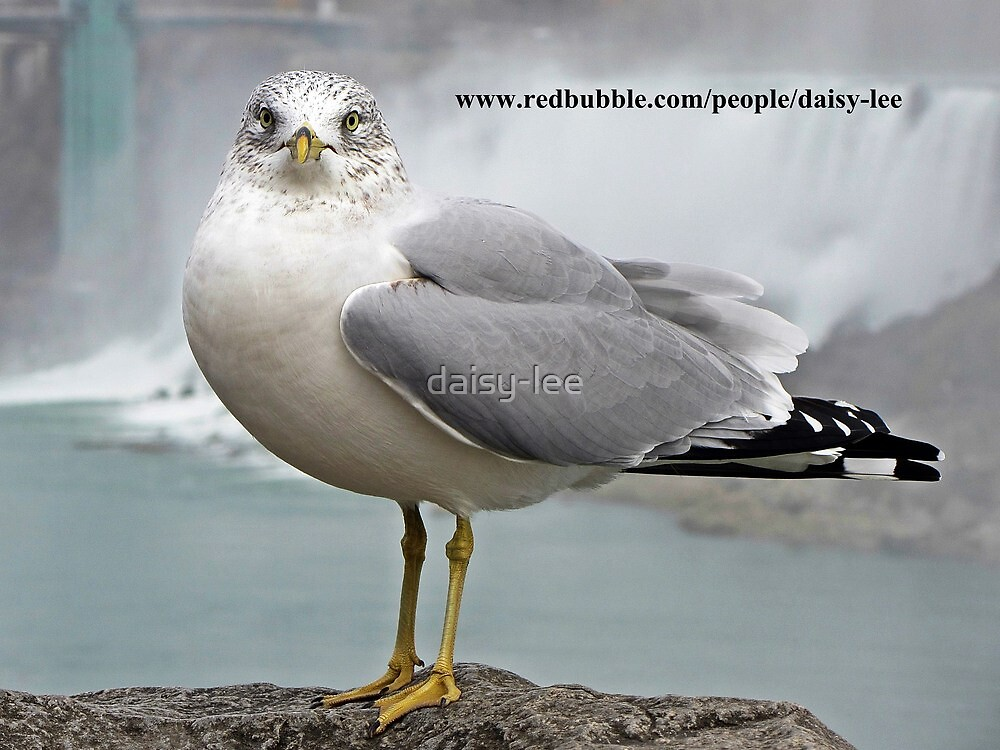 Seagull, Canada 1 by daisy-lee