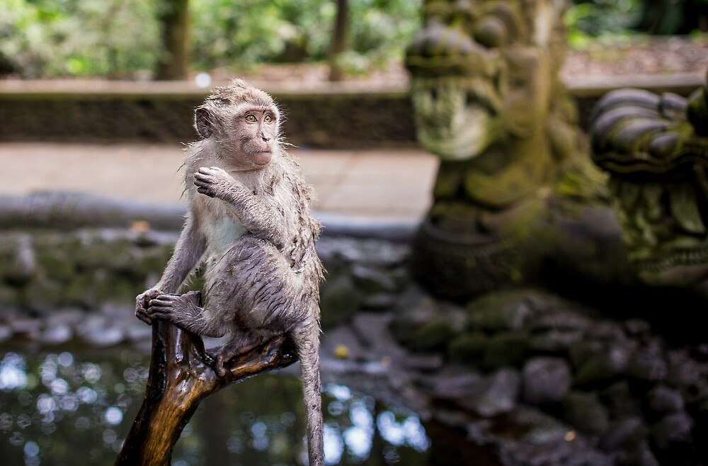 Wet Macaque in Monkey Forest by andrewsparrow