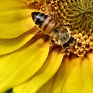 Sunflower with bee by Sheri Nye