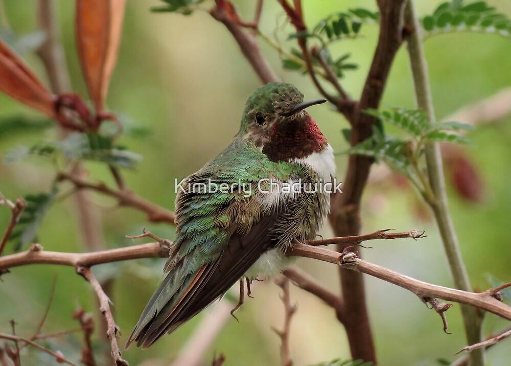 Broad-tailed Hummingbird (Male) by Kimberly Chadwick