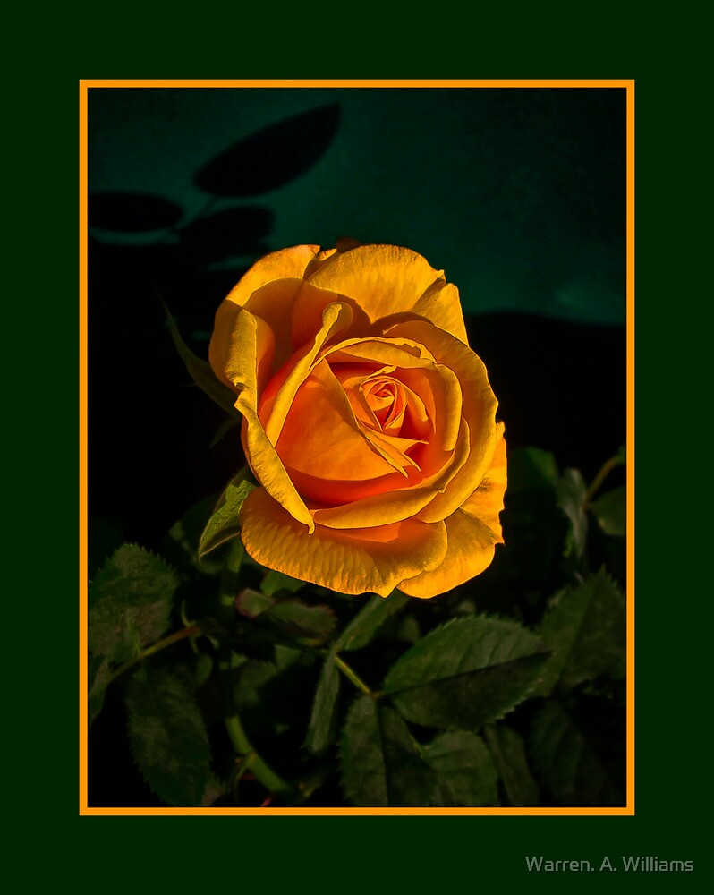 The Rose Today by Warren. A. Williams