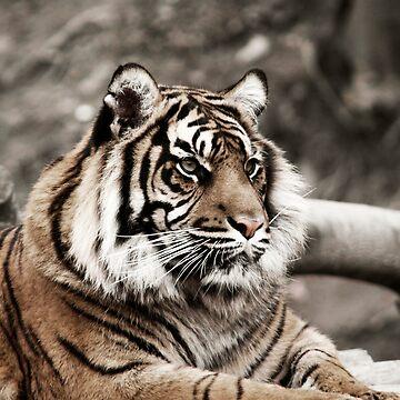Tiger by matt0945