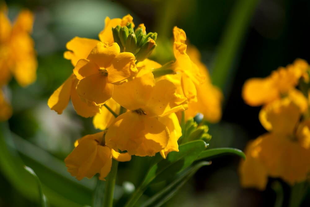 Antirrhinum (Snap Dragon) Flowers by Kevin Cartwright