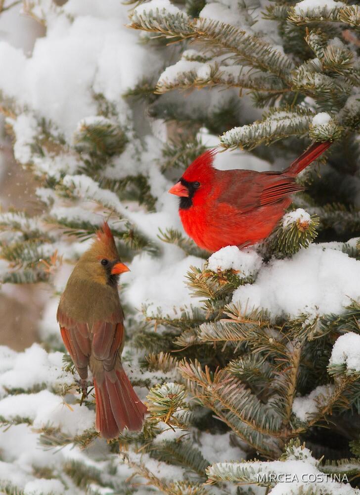 Christmas card with cardinals by MIRCEA COSTINA